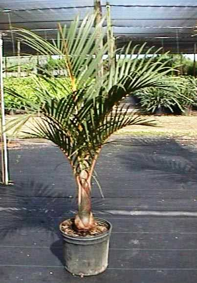 "14"" Spindle Palm"