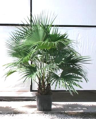 "14"" Chinese Fan Palm"