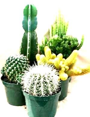 "6"" Cactus Assortment"